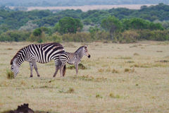 Two zebras. Standing in grassy field in Africa Royalty Free Stock Photo