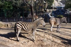 Two zebras standing out in the sun Stock Images