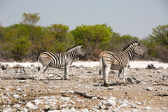 Two zebras standing on the rugged terrain in Etosha Royalty Free Stock Photos