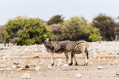Two zebras standing in savannah Stock Images
