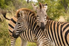 Two zebras standing with their necks crossed. Close-up of social behavior stock images