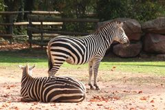 Two zebras standing in zoo in nuremberg stock images