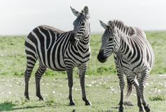 Two Zebras staring off into the distance. Africa during safari Stock Photos