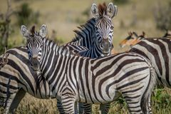 Two Zebras starring at the camera. Royalty Free Stock Photo