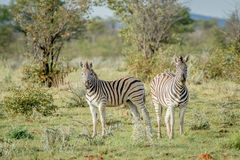 Two Zebras starring at the camera. Royalty Free Stock Images