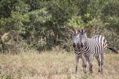 Two Zebras starring at the camera. Royalty Free Stock Image