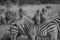 Two Zebras starring at the camera. Stock Photography