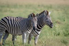 Two Zebras starring at the camera. Royalty Free Stock Photos
