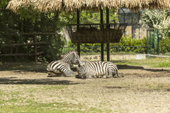 Two zebras taking a rest. Zebras are several species of African equids horse family united by their distinctive black and white striped coats Stock Photography