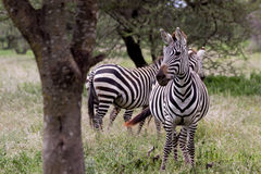 Two Zebras in Tanzania. Zebras in the grasslands of the Serengeti Stock Photos