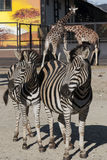 Two zebras and two giraffes Royalty Free Stock Image