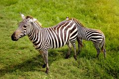 Two Zebras. In a Green Field stock photography