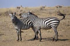 Two zebras Stock Image