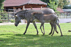 Two zebras. Walking in aviary in Moscow zoo Stock Photography
