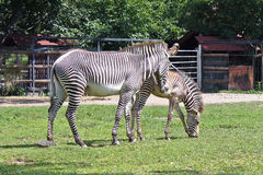 Two zebras. Walking in aviary in Moscow zoo Royalty Free Stock Photography