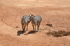 Two zebras walking side by side. Photo of two African zebras Royalty Free Stock Photo