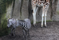 Two zebras in zoo Stock Photos