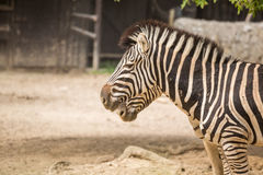 Two zebras in the zoo Stock Images
