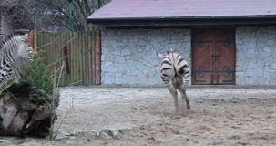 Two zebras in zoo. Two zebras are playing in a yard stock footage