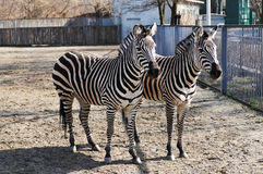 Two zebras in zoo Royalty Free Stock Image