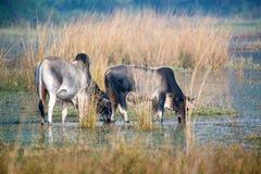 Two zebu drinking water Stock Images