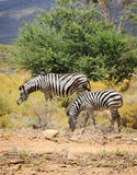 Zebra foal with mare in wild bush Royalty Free Stock Image