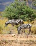Zebra foal with mare in wild bush. Two zepras in wild african bush: foal with mare Royalty Free Stock Image