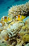 TwoAnemone fish in underwater coral reef Stock Image
