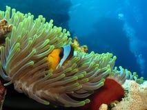 Twoband anemonefish. Peeking out of its anemone stock photography