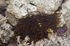 Twoband anemonefish 免版税库存图片