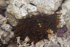 Twoband anemonefish Στοκ εικόνες με δικαίωμα ελεύθερης χρήσης