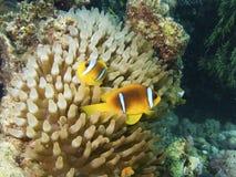 twoband för rött hav för clownfish Royaltyfria Foton