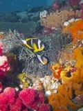 twobar anemonfisk Fotografering för Bildbyråer