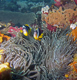 twobar anemonfisk Royaltyfri Fotografi