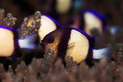 Twobar Humbug/ινδικό Dascyllus που κολυμπά σε ένα σκληρό κοράλλι στο σκόπελο Στοκ Εικόνα