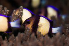 Twobar Humbug / Indian Dascyllus swimming in a hard coral on the reef. Twobar Humbug / Indian Dascyllus swimming in a hard coral on the reef, close up. Small Stock Image