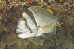 Twobar seabream on coral reef Stock Images