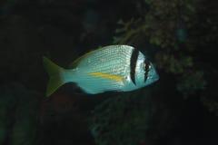 Twobar-Seebrassenfische Lizenzfreie Stockbilder