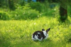 Twocollored kanin är rinnande bort i gräset royaltyfri bild