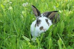 Twocollored kanin i långt gräs royaltyfri bild