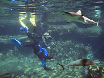 Twodivers. Divers photographing Grey Reef Shark (Carcharhinus amblyrhynchos stock images