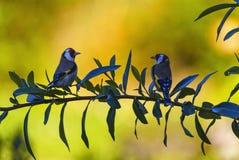 Twoe uropean steglitsfåglar, cardueliscarduelis royaltyfri foto