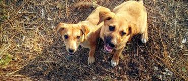 Twohappy hundkapplöpning fotografering för bildbyråer