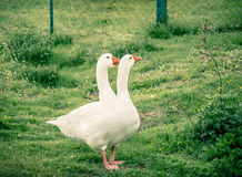 Twoheaded goose Royalty Free Stock Image