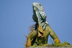 twoja iguana high zdjęcie stock