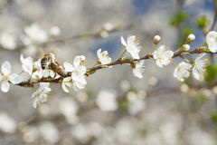 Twoo Bees on a Wild Cherry Flowers Stock Image