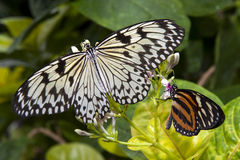 Twoo butterflies Royalty Free Stock Images