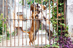 Twoo dogs dachshund playing in the yard Stock Photo