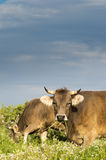 Twoo Grazing cows Royalty Free Stock Photography