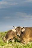 twoo Pastwiskowe krowy Fotografia Royalty Free